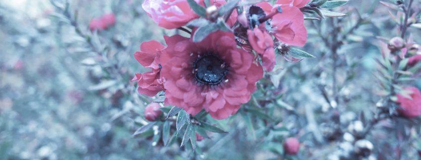 aurora's red flower